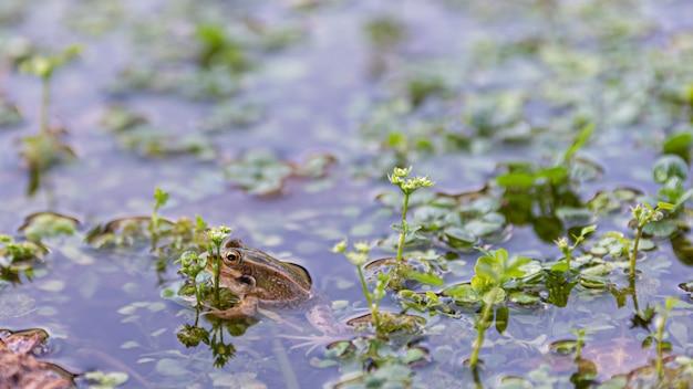 Sapo na água do pântano olhando para a câmera