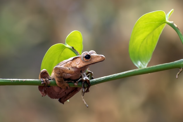 Sapo orelhudo de bornéu em galho de árvore