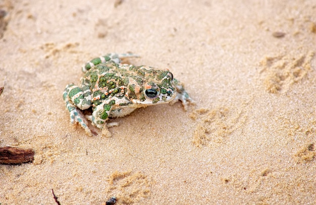 Sapo senta-se na areia e espera