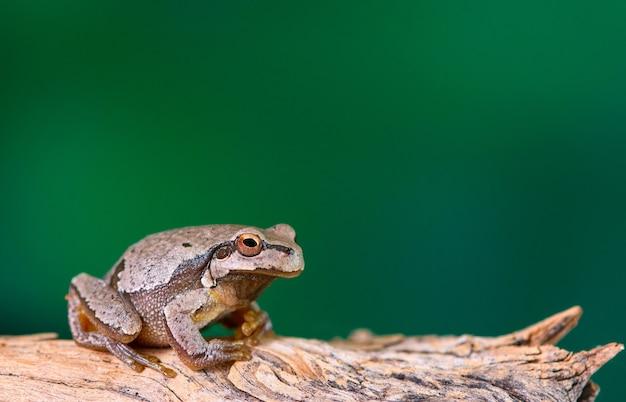 Sapo verde europeu (hyla arborea anteriormente rana arborea) sentado em um galho.