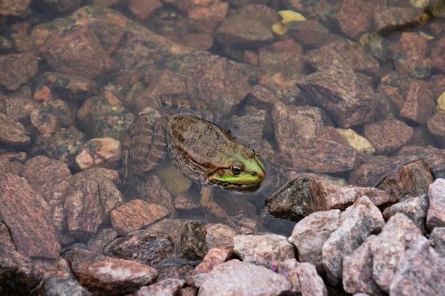 Sapo verde na água sobre pedras