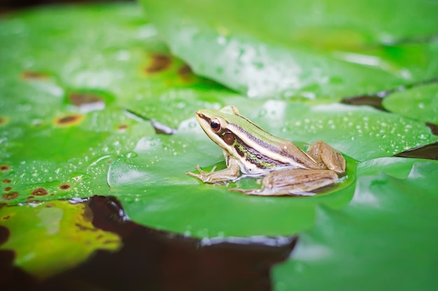 Sapo verde (sapo verde) sentado na folha de lotut em uma lagoa