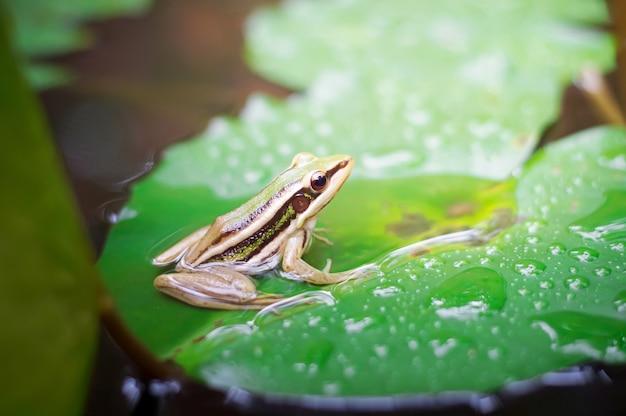 Sapo verde sentado na folha de lótus em uma lagoa