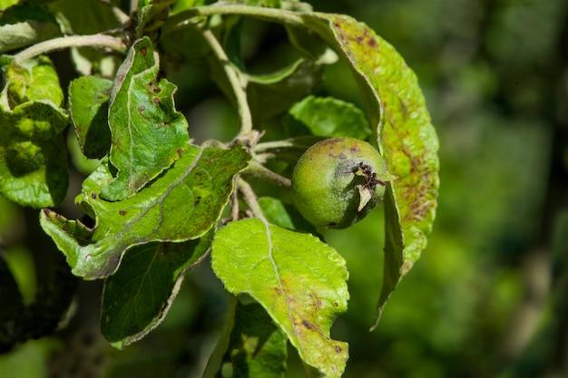 Sarna a doença das maçãs causada pelo fungo venturia inaqualis
