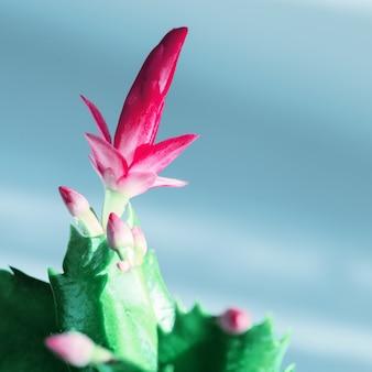 Schlumbergera florescendo flor close-up em azul
