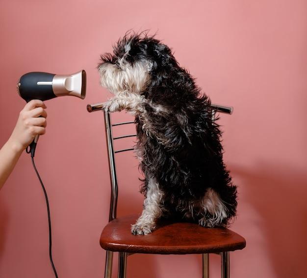 Schnauzer de cachorro em fundo rosa e secador de cabelo em mão feminina