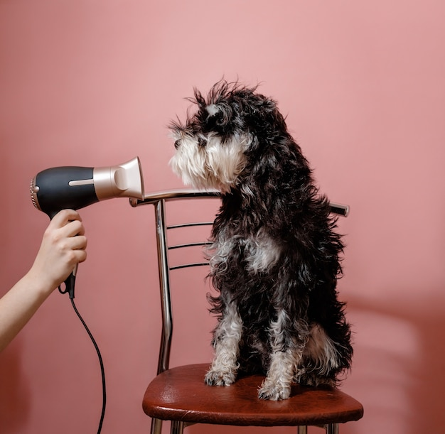 Schnauzer de cachorro em rosa e secador de cabelo em mão feminina