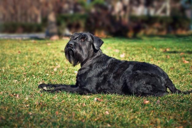 Schnauzer gigante do cão ao ar livre