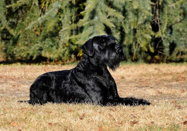 Schnauzer gigante para cães