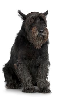 Schnauzer gigante velho com 7 anos. retrato de cachorro isolado