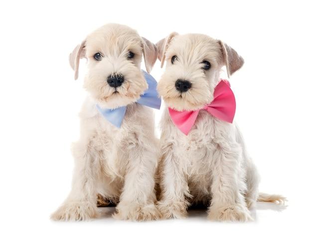 Schnauzer miniatura de cachorrinhos na frente de um fundo branco