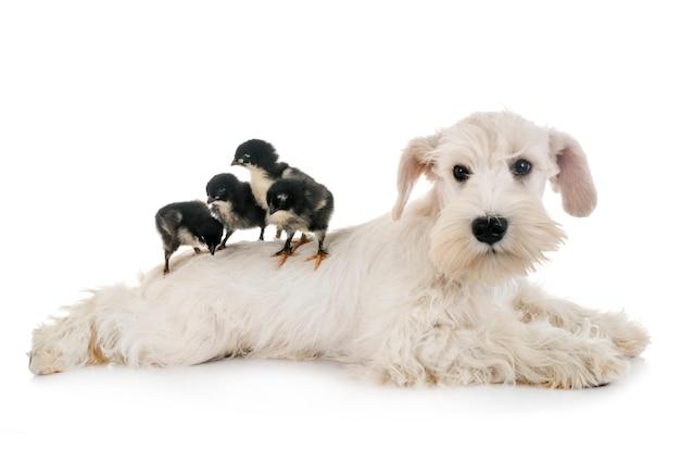 Schnauzer miniatura de cachorro branco