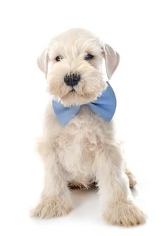 Schnauzer miniatura de cachorro na frente do fundo branco