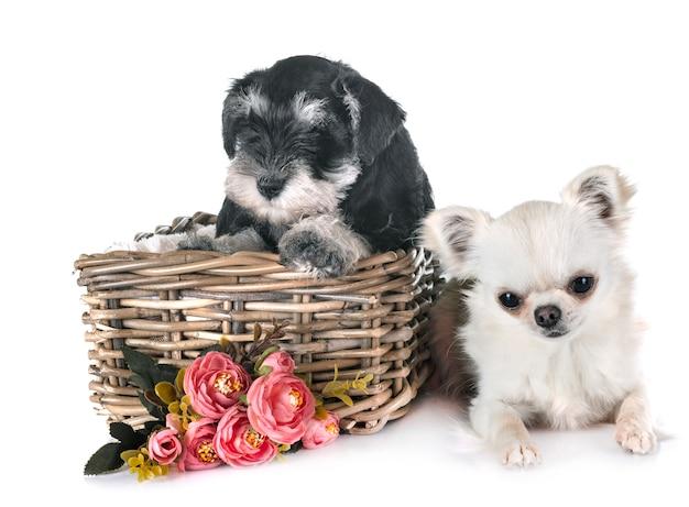 Schnauzer miniatura de filhote de cachorro e chihuahua