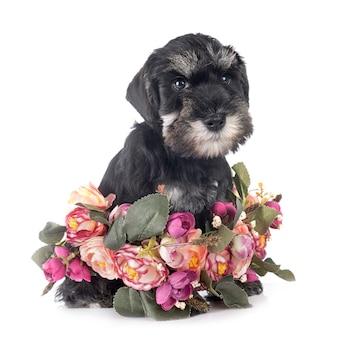 Schnauzer miniatura de filhote de cachorro