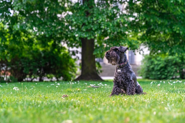 Schnauzer preto pequeno no parque da cidade