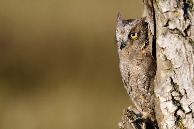Scops owl olhando para fora do ninho. otus scops.