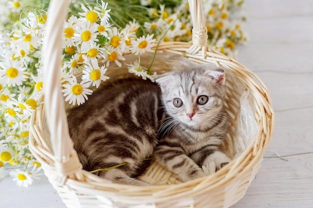 Scottish cute dobra gatinho em uma cesta