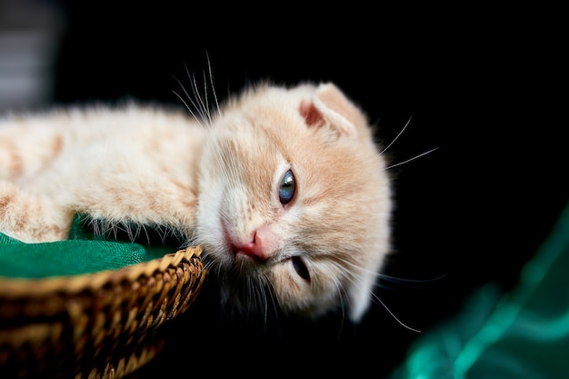 Scottish fold, gatinho british shorthair dormindo na cesta em casa.