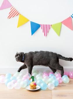 Scottish fold gato comemorando seu primeiro aniversário