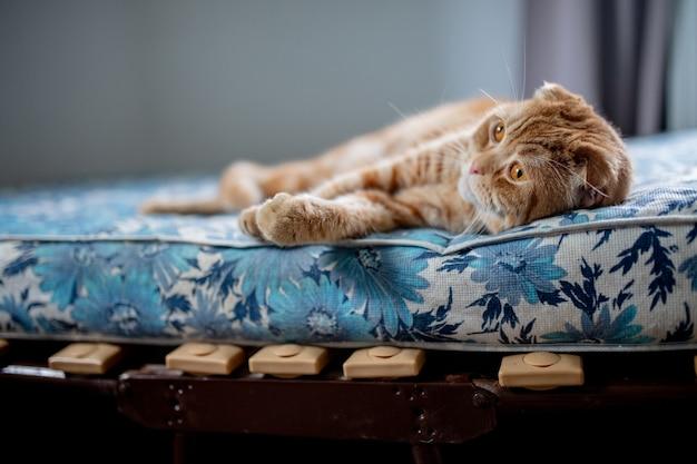 Scottish fold gato deitado no colchão
