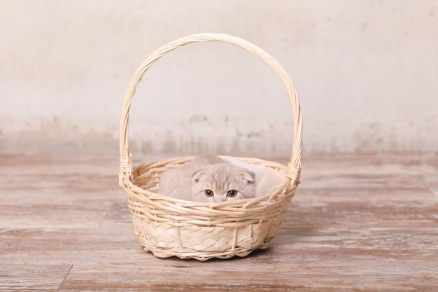 Scottish fold gato e cesta