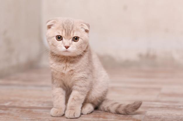 Scottish fold gato. gatinho britânico.