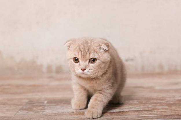 Scottish fold gato na mesa de madeira bege