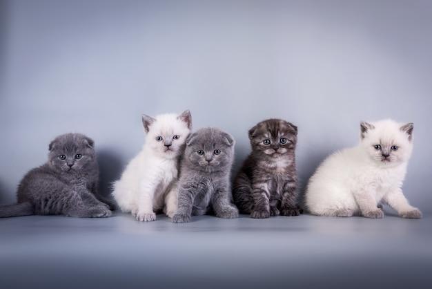 Scottish fold pequeno gatinho fofo azul colorpoint branco, prata tabby
