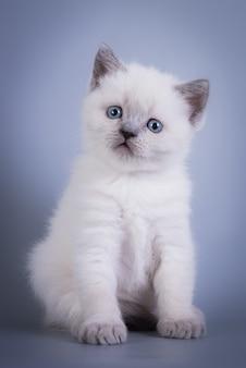 Scottish fold pequeno gatinho fofo azul colorpoint branco