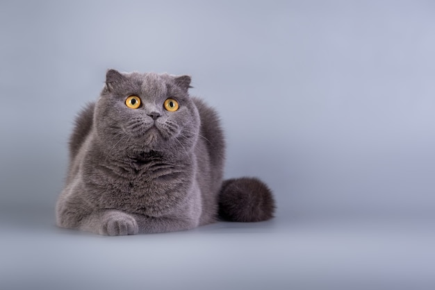 Scottish fold pequeno gatinho fofo cor azul