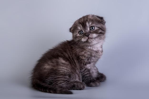 Scottish fold pequeno gatinho fofo cor prata tabby