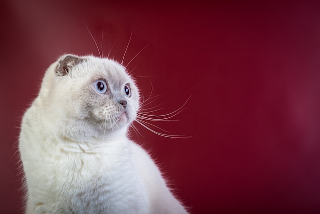 Scottish fold shorthair color point cat on red, front view ..