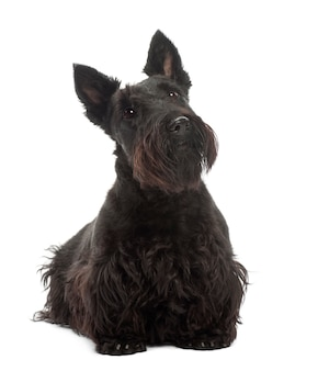 Scottish terrier, de pé contra o fundo branco