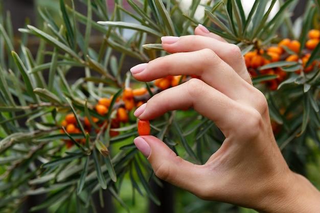 Seabuckthorn berry entre os dedos no fundo de seabuckthorn bush