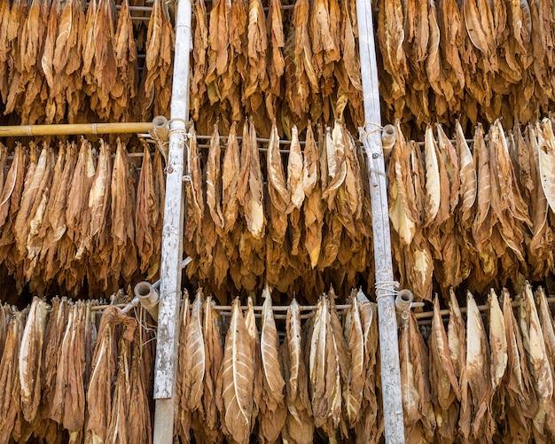 Secagem de folhas de tabaco em um galpão.