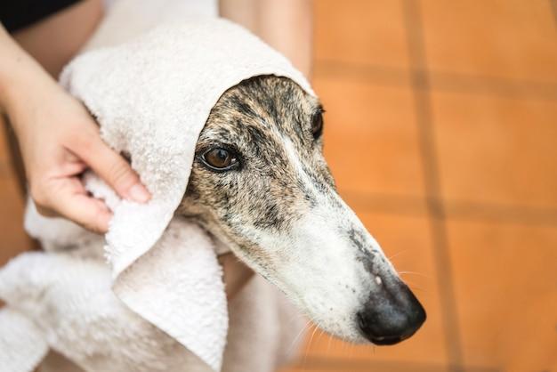 Secando o cachorro com uma toalha