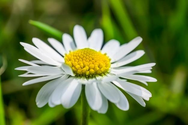 Seção ampliada da flor da margarida. uma explosão de cores e detalhes de uma flor comum na península itálica.