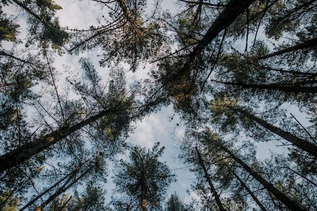 Seção baixa, vista, de, árvores altas, contra, céu