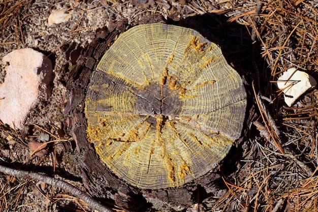 Seção cortada do pinheiro abatido