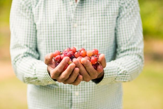 Seção intermediária do viticultor segurando uvas
