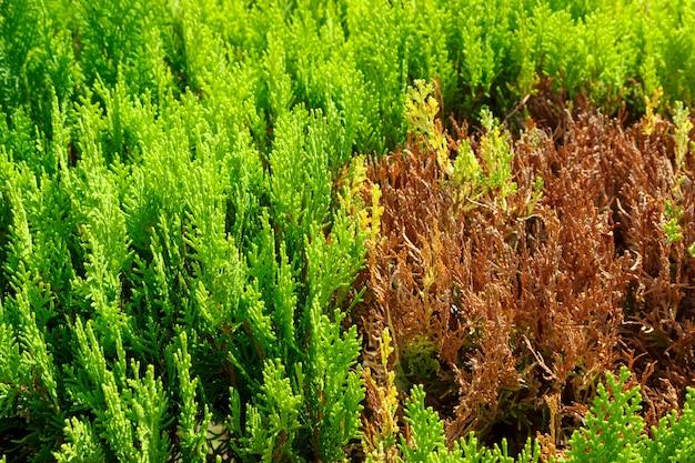 Seção ramos secos na árvore thuya pronto para corte ou rejuvenescimento