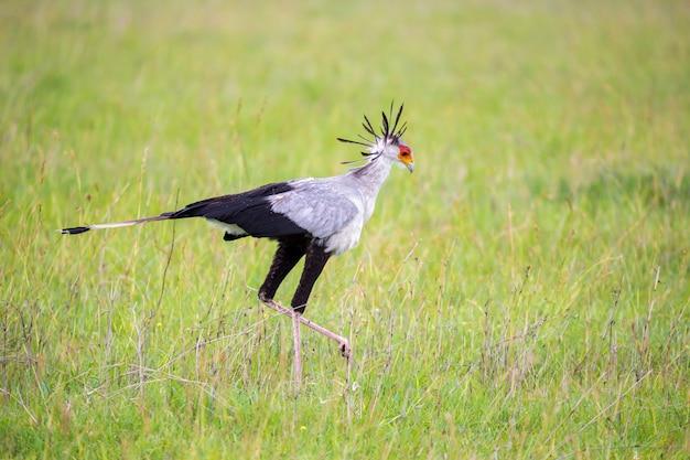 Secretário pássaro atravessa um campo verde