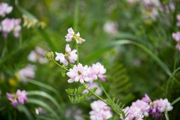 Securigera (coronilla) varia flores. ervilhaca coroa roxa
