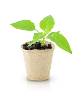 Seddling em vaso verde isolado na superfície branca