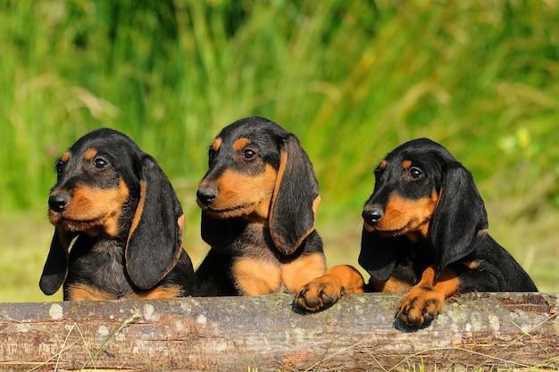 Segugio italiano filhotes cachorro