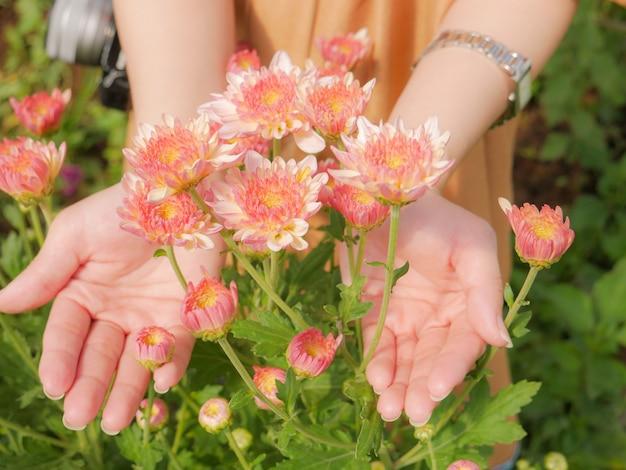 Segurando uma flor de crisântemo rosa linda em ambas as mãos com fundo de vista jardim