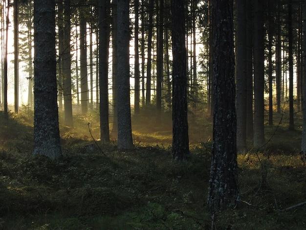 Seis floresta abetos