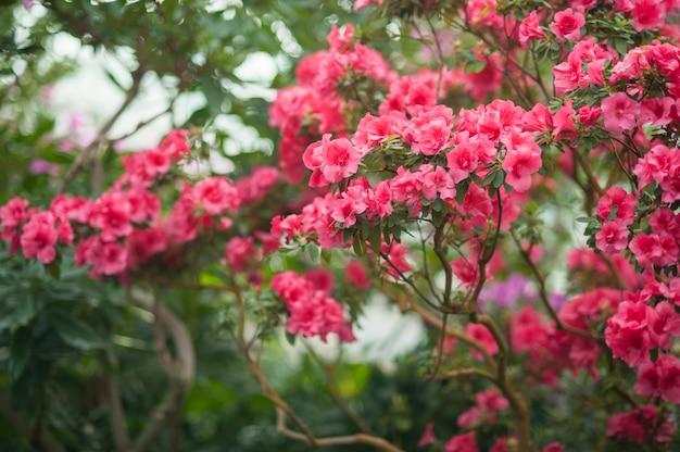 Seleção híbrida de florescência do híbrido do rododendro de azalia em uma estufa.