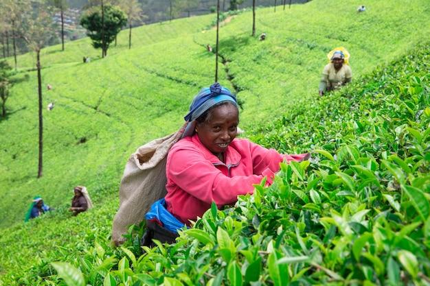 Selecionador de chá feminino em plantação de chá em mackwoods